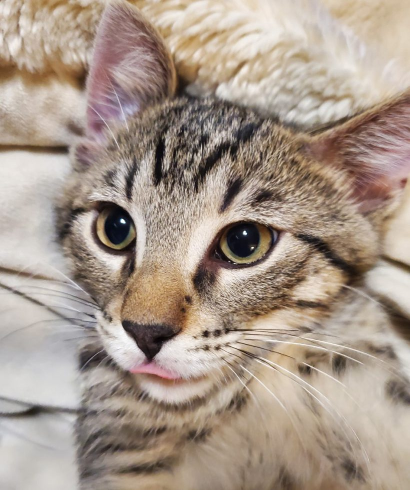Meet our new adoptable kittens: Quill, Pen, Feather and Nib!